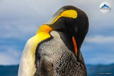 pinguino-rey-01