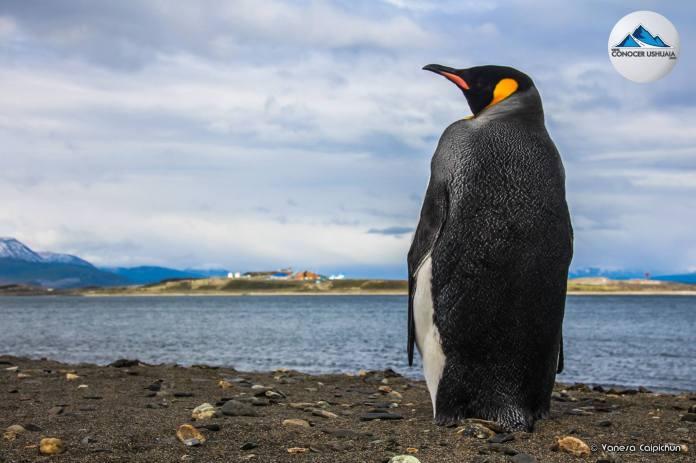 pinguino-rey-04